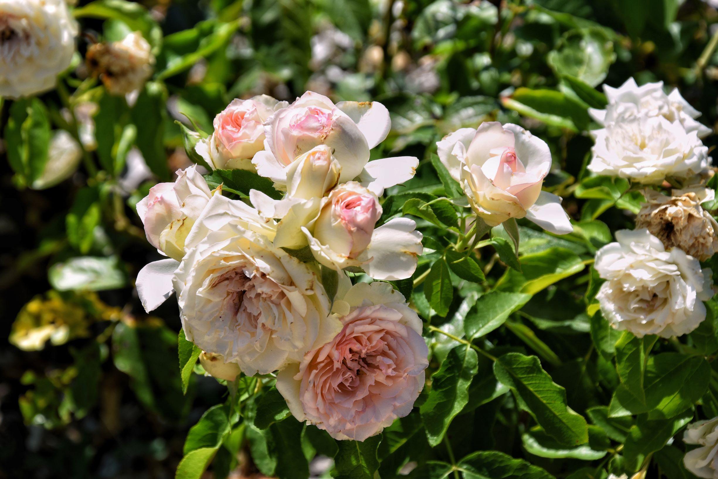 Le rose di Malmaison